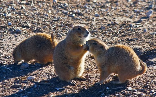 Prairie Dog Town: One prairie dog feeding the other-cutest picture ever!!!!!