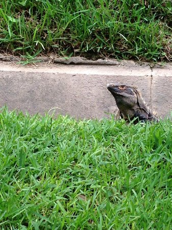 Allegro Papagayo : iguana on the grounds