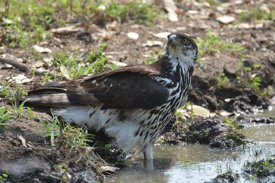 Tanda Tula Safari Camp: Youngster at the waterhole