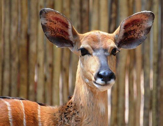 Tanda Tula Safari Camp: bushbuck trapped in the Boma