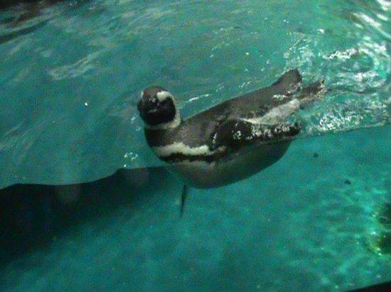 Shedd Aquarium: A penguin