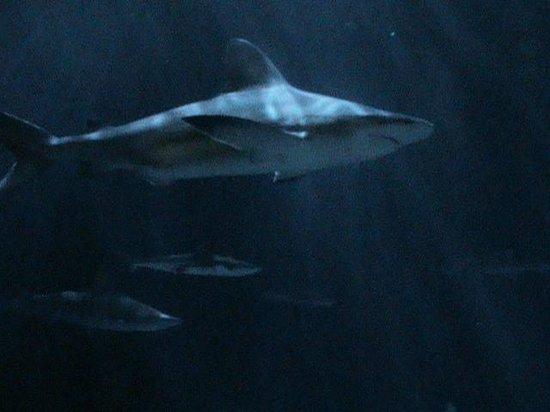 Shedd Aquarium: One of the Sharks