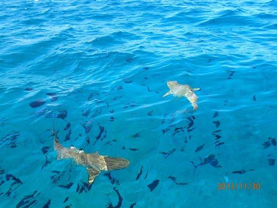 InterContinental Bora Bora Le Moana Resort : Акулы!