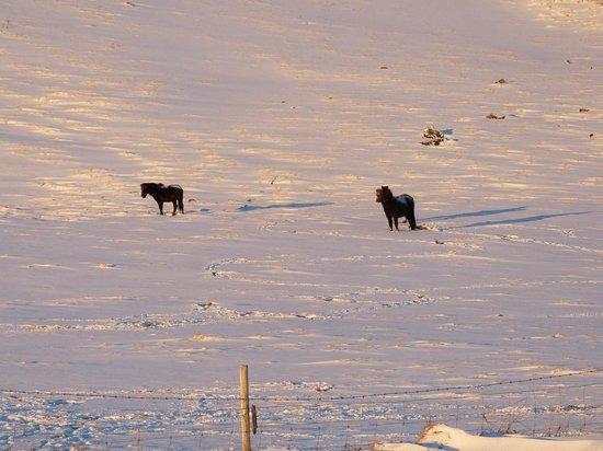 Hotel Ranga : Icelandic horses.
