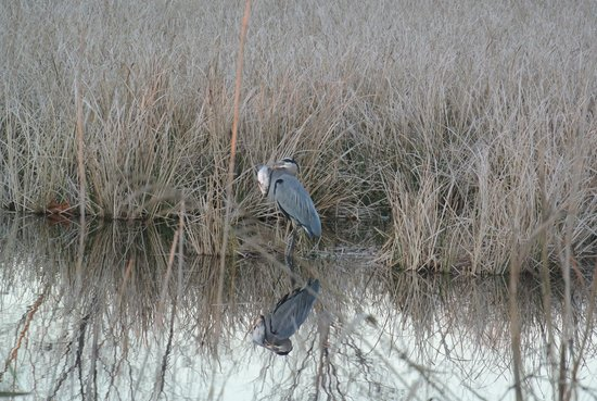 Carawan's Motel and Cabins: Heron with fish