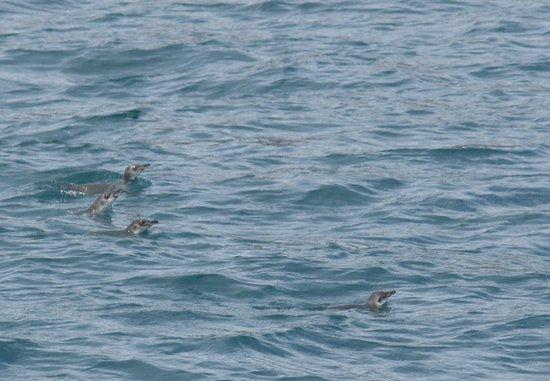 Black Cat Cruises: Swimming Little Blue Penguins