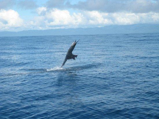 Crocodile Bay Resort : sailfish jumping