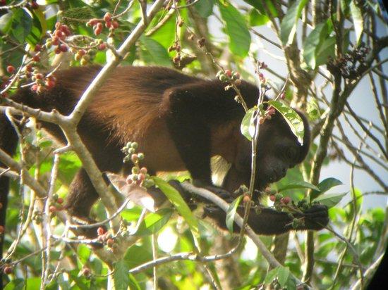Crocodile Bay Resort : howler monkey