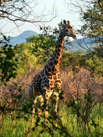 Mulati Safari Camp: Game Drive