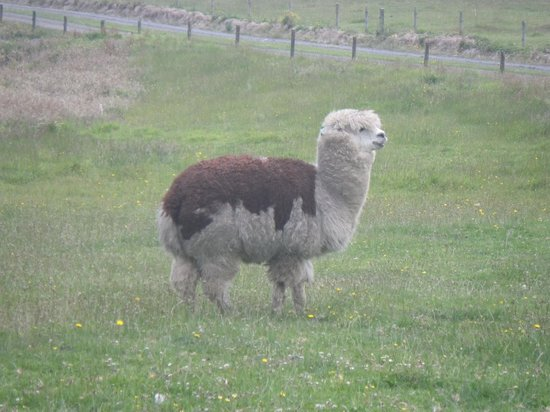 Pakinui Farmstay and B&B: Llama