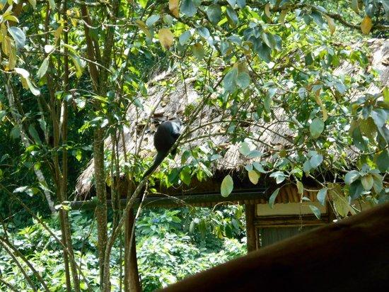 Buhoma Lodge: Jackfruit eating monkey near the lounge