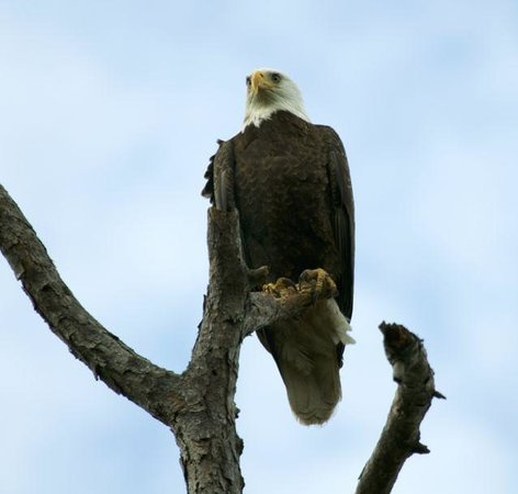 Tallahassee, Floryda: Bald Eagle closeup