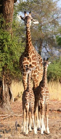 Nkwali Camp: Giraffe family