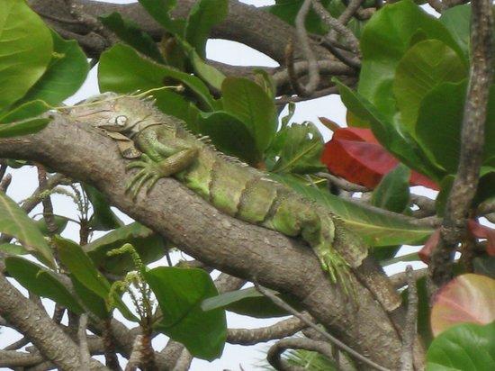 Tamarijn Aruba All Inclusive : Dinosaurs do exist! They were everywhere.