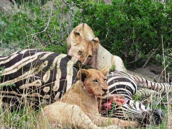 Serondella Game Lodge: Lions feasting on a zebra