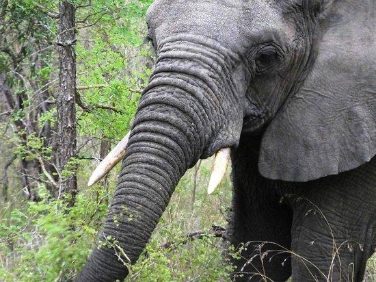 Serondella Game Lodge: Elephant, up close and personal!