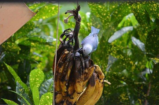 Vista Verde Guest House : blue bird (banana thief)