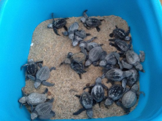 Tortugueros Las Playitas: Baby olive ridleys ready to be released.