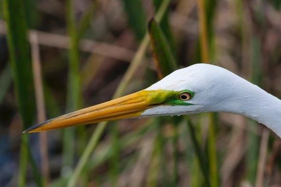 Arthur R. Marshall Loxahatchee National Wildlife Refuge: White Egret