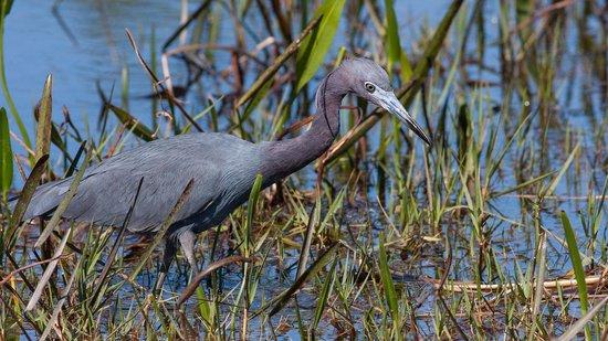 Arthur R. Marshall Loxahatchee National Wildlife Refuge: Little Blue Heron