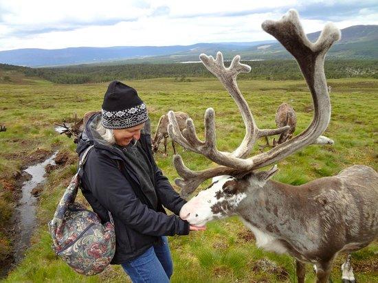 Cairngorm Reindeer Herd: Feeding the reindeer.