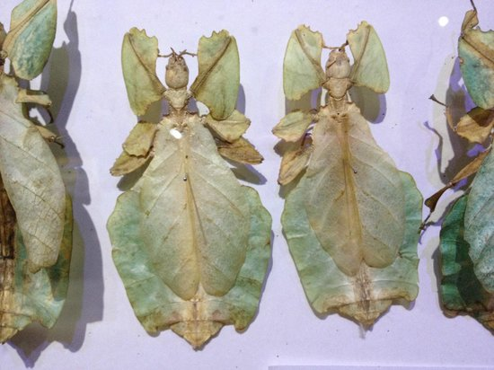 Siam Insect Zoo: One of the many disguises used by insects - fallen leaves
