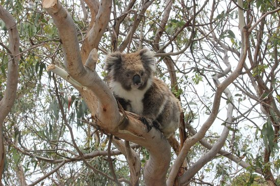 koala close to the road picture of kennett river koala. Black Bedroom Furniture Sets. Home Design Ideas