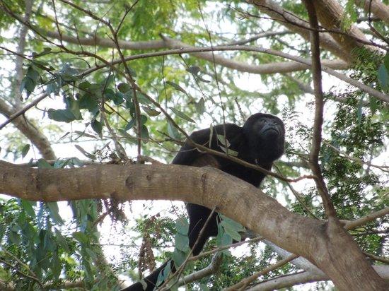 Hotel Riu Guanacaste: Wild Monkeys