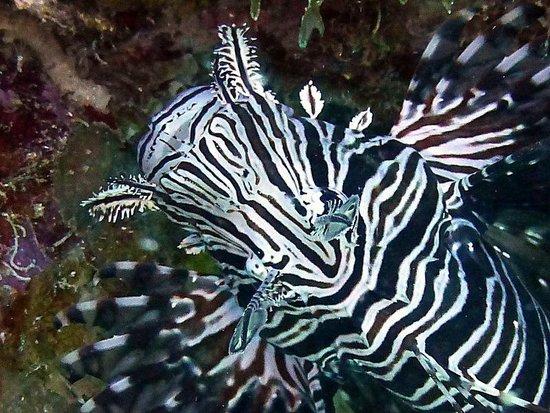 Buddy Dive: Lionfish