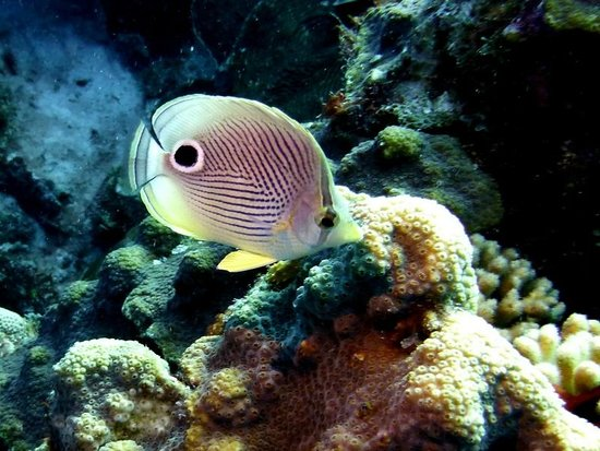 Buddy Dive : Four-eye Butterflyfish