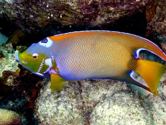 Buddy Dive : Queen Angelfish