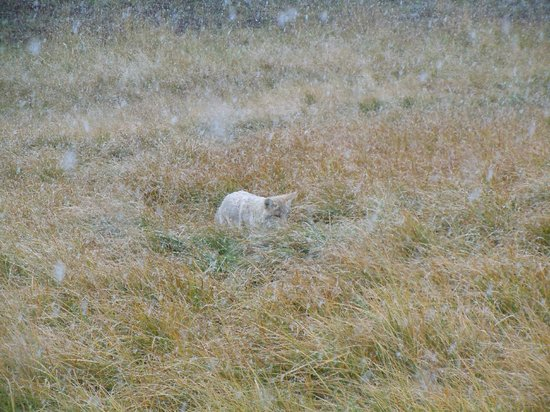 Yellowstone Wolf Tracker : A wolf seen  at the time of snow fall.