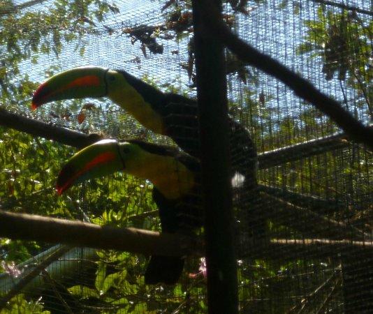 La Mariposa Spanish School and Eco Hotel: Tucans in action