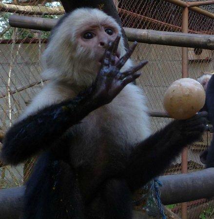La Mariposa Spanish School and Eco Hotel: little withe face monkey