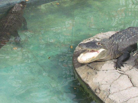Kissimmee Go-Karts : Feeding the alligators