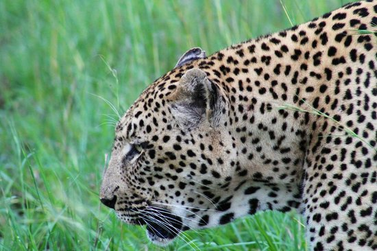 andBeyond Ngala Safari Lodge: big 5 member and local visitor