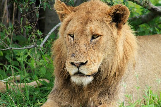 andBeyond Ngala Safari Lodge : King of the jungle and big 5 member