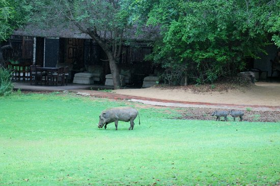 andBeyond Ngala Safari Lodge: warthogs visiting the lodge area