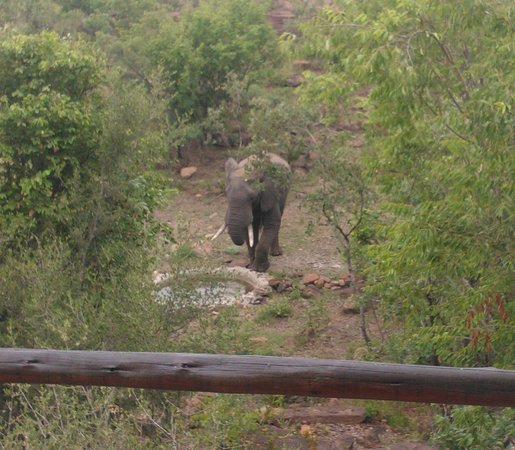 Nedile Lodge: Elephant drinking at the watering hole just metres from the lodge.
