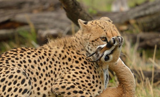 Naboisho Camp, Asilia Africa: Cheetah-Kill