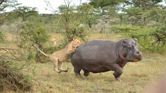 Naboisho Camp, Asilia Africa: Löwen jagen Hippo