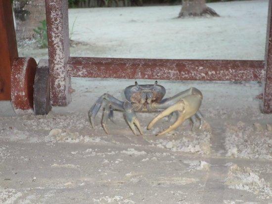 Villas HM Paraiso del Mar: Este enorme cangrejo llegó caminando hasta la zona de playa del hotel