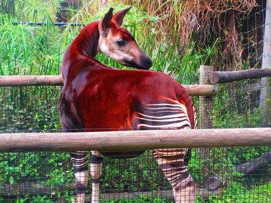 Tampa's Lowry Park Zoo: okapi