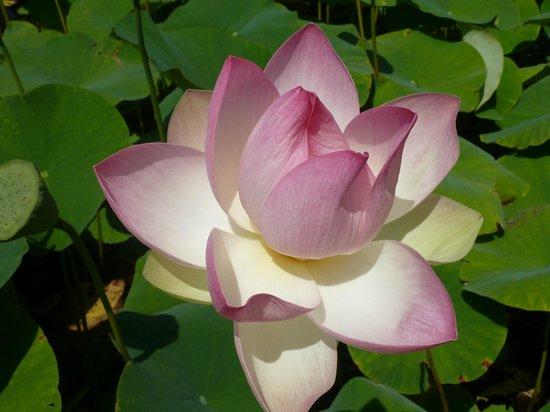 Parc Floral et Tropical de la Court d'Aron : lotus