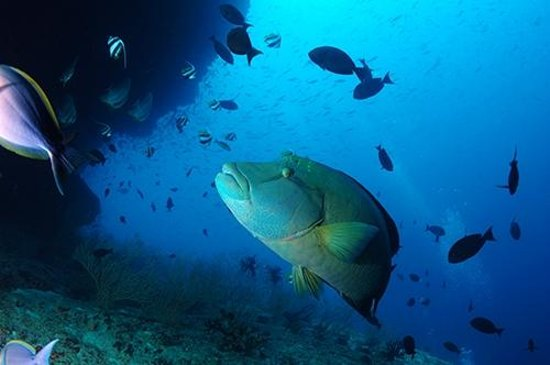 Wakatobi Dive Resort: A Napoleon wrasse hovers under a shallow reef ledge.