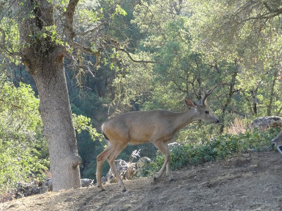Yosemite Bed and Breakfast: Mariposa, Yosemite B&B, a deer close to the terrace, July 2013