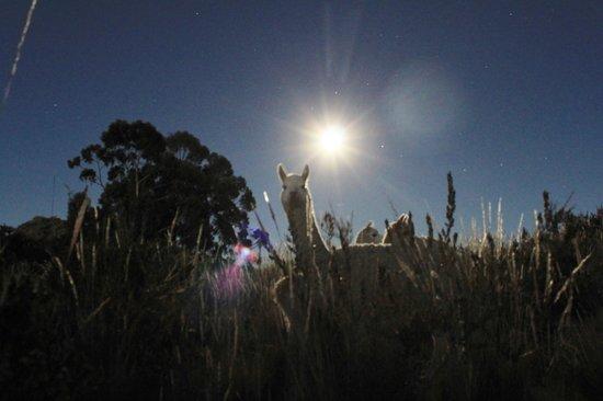 Isla Suasi Hotel: Llamas at dusk