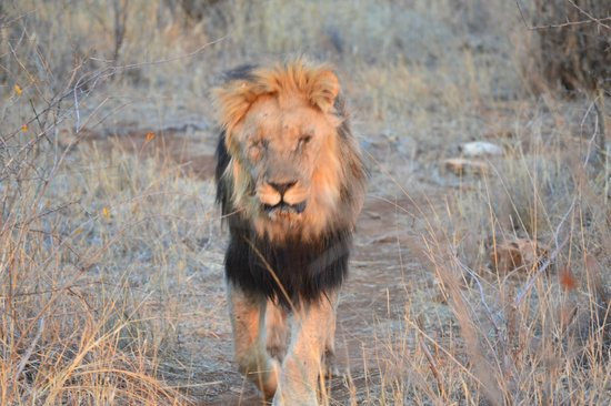Rhulani Safari Lodge: one of the many lions spotted