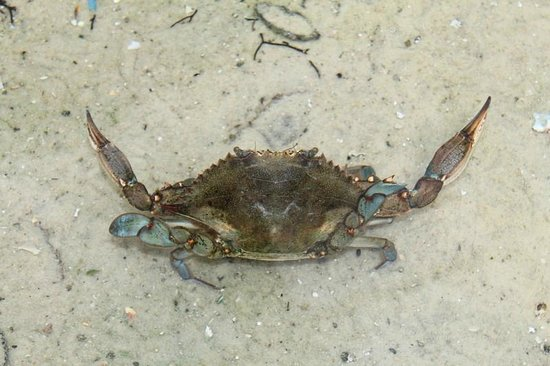 Gulf Specimen Marine Lab & Aquarium: Blue Crab