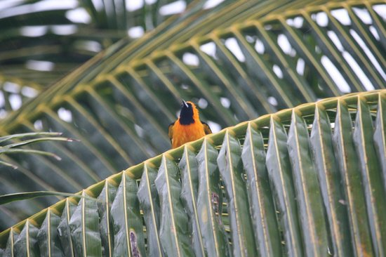Hotel Cabanas Tulum : Oriole photographed from room patior